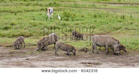 Warthogs Feeding