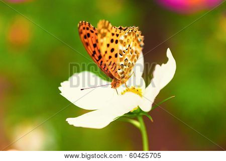 Brenthis daphne, Marbled fritillary butterfly on white cosmos flower, Japan