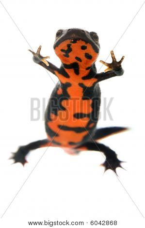 Fire Bellied Newt From Below