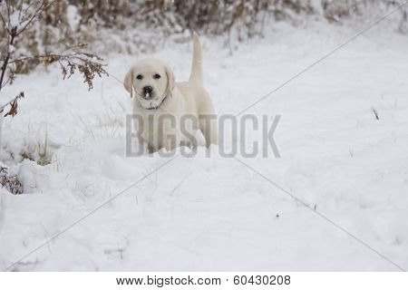 Rudy The Tiny Lab Puppy In Snow