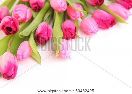 fresh pink tulips on white background