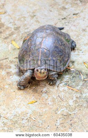 Turtle 3 Toed