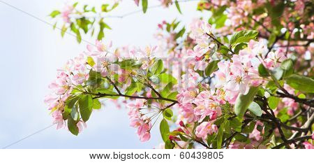 Pano Apple Blossom In Spring