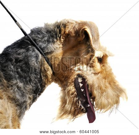 Airedale Terrier Over White