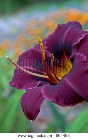 Purple Day Lily 1