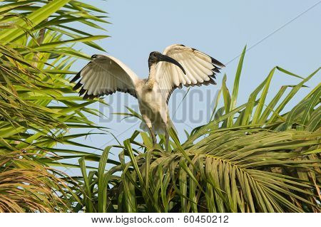 Sacred Ibis Flapping Its Wings In A Palm Tree