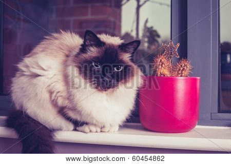 Birman Cat Sitting On Windowsill With Cactus