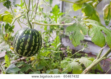 Watermelon In Hothouse