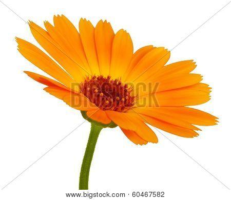 Orange Daisy Flower With Petals