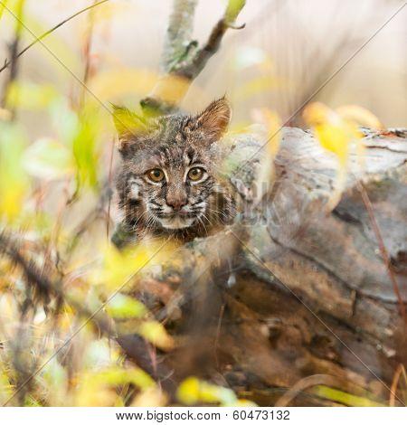 Bobcat Kitten (Lynx rufus) Hides