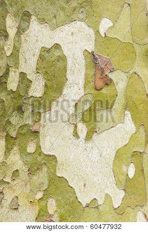 Plane Tree Bark Close Up