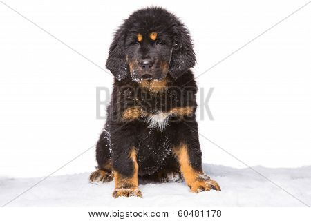 Black And Red Puppy Of Tibetan Mastiff