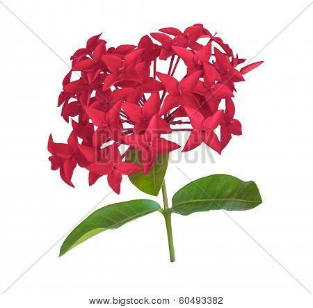 Red Rubiaceae Flower Isolated