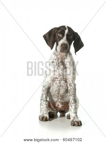 german shorthaired pointer puppy looking up isolated on white background- female