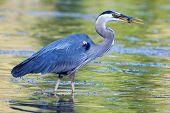 stock photo of bluegill  - Great Blue Heron catches a small bluegill