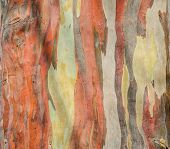 image of eucalyptus trees  - Colorful Abstract Pattern Of Eucalyptus Deglupta Tree Bark - JPG