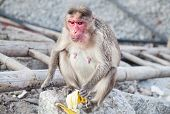 stock photo of karnataka  - Monkey eating banana at Hanuman Monkey Temple in Hampi Karnataka India - JPG