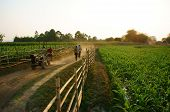 Beautiful Scene With Path, Wooden Fence, Green Vegetable Field