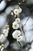 picture of early spring  - White plum blossoms - JPG