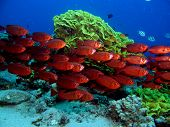 image of bullseye  - A school of red bullseyes in front of salad coral - JPG
