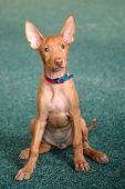 Portrait Of Funny Pharaoh Hound Puppy At Home