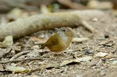 picture of babbler  - beautiful Abbott - JPG
