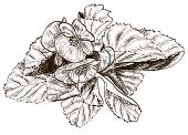 foto of begonias  - Vector illustration of Hand drawing begonia flower - JPG