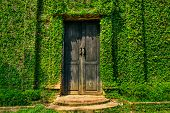 foto of ivy vine  - Old wooden door in the wall covered with green ivy - JPG