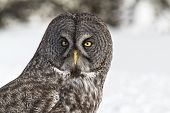 picture of snow owl  - Portrait of Canada - JPG