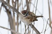 foto of fluffing  - sparrow in frosty day fluffed up feathers - JPG