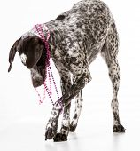 bad dog - naughty german shorthaired pointer tugging on beads isolated on white background