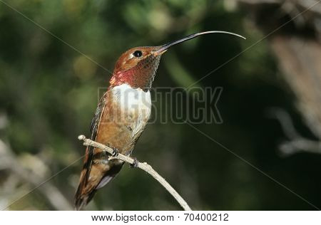 Humming bird perched on branch