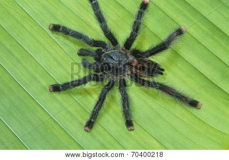 Black Spider on Leaf