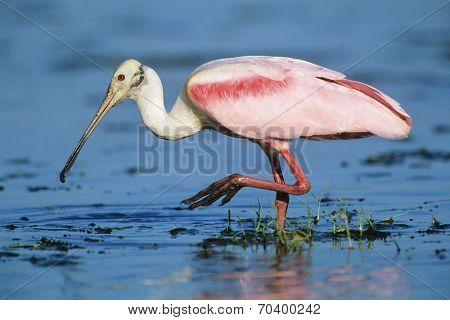 Ibis wading in water
