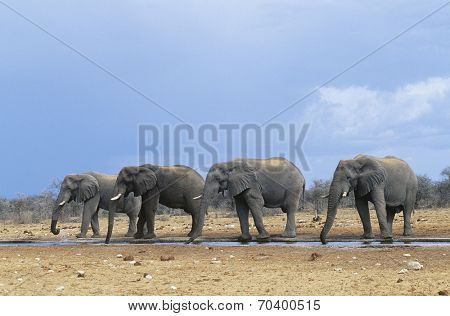Four African Elephants (Loxodonta Africana) in a row