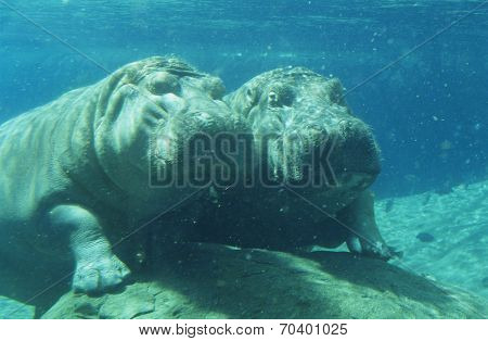 Two Hippopotami (Hippopotamus Amphibius) bathing in waterhole