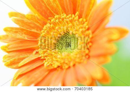 Daisy Flower Macro