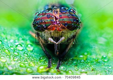 Close Up View Of The Eyes A Tabanus Abdominalis Horsefly With Raindrops