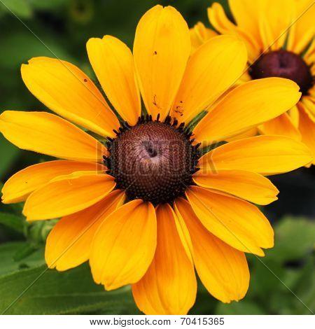 Yellow tickweed wildflower (coreopsis wildflowers)