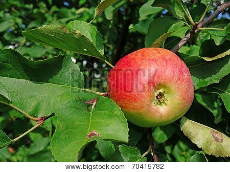 Apple On A Branch In A Garden