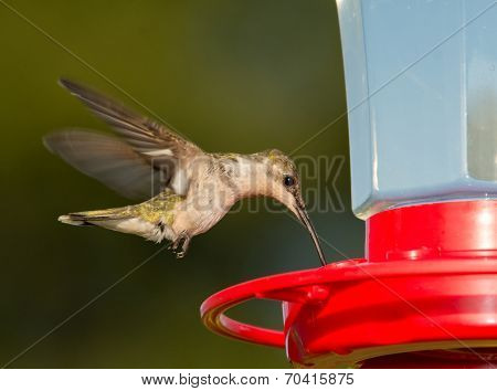 Female Ruby-throated Hummingbird hovering and feeding at a feeder against green background
