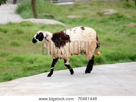 Sheep In The Farm.