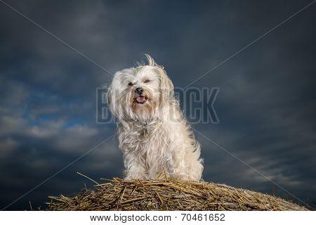 Dog On A Straw Bale