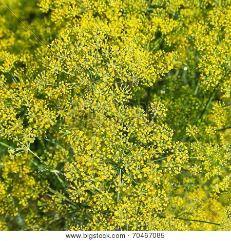 Above View Of Blossoming Dill Herbs In Garden