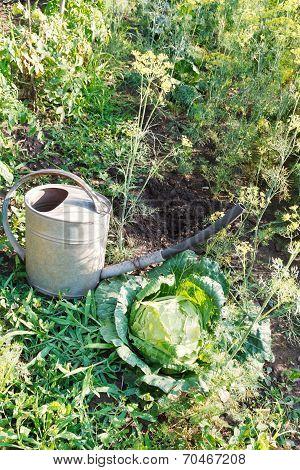 Handshower And Cabbage In Garden