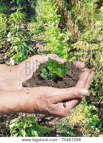 Farmer Hands With Handful Soil With Green Sprout