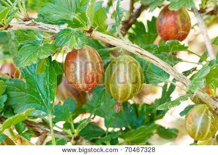 Few Ripe Gooseberry Berries Close Up In Garden