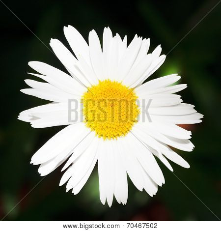 Fresh Ox-eye Daisy Flower Close Up