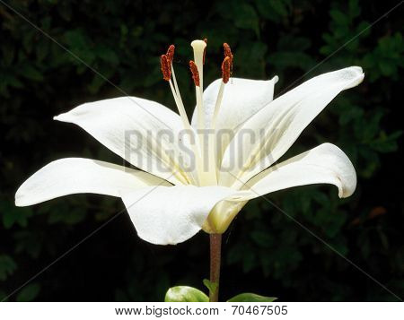 Side View Of White Bloom Lilium Close Up Outdoors