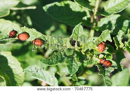 Many Larva Of Colorado Potato Beetle Eat Potatoes